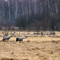 Cranes In The Biebrza Marshes, Poland