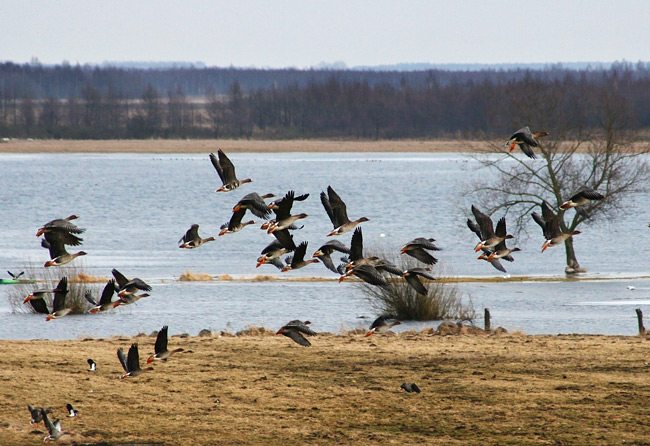 Geese Migration In The Biebrza Marshes, Poland