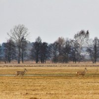 Roe Deer And Geese In The Biebrza Marshes, Poland