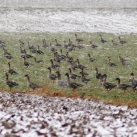 White-fronted And Bean Geese In The Biebrza Marshes, Poland