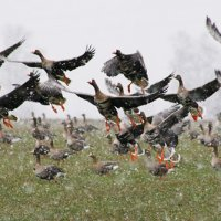 White-fronted Geese In The Biebrza Marshes, Poland