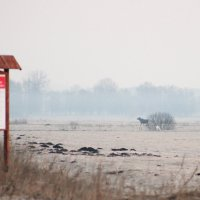 Elk/Moose In The Morning In The Biebrza Marshes, Poland