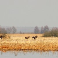 Elk/Moose In The Biebrza Marshes, Poland