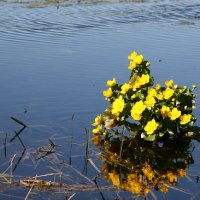 Marsh Marigolds In The Biebrza Marshes, Poland