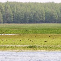 Ruffs And White-winged Terns In The Biebrza Marshes, Poland