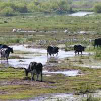 Hungry Herds In The Biebrza Marshes, Poland