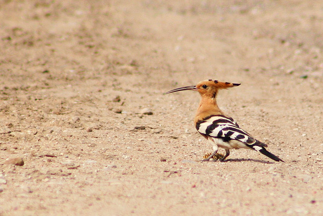 Hoopoe In The Biebrza Marshes, Poland