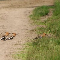 Hungry Hoopoes In The Biebrza Marshes, Poland