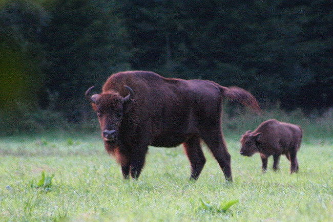 Watching European Bison In The Bialowieza Forest, Poland