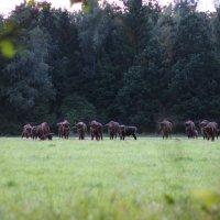 European Bison Herd In The Bialowieza Forest, Poland