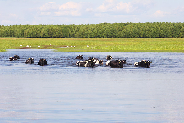 Swimming Cows In The Biebrza Marshes, Poland