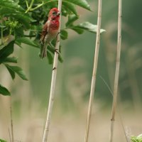 Common Rosefinch, Photo By Pascal Rapin