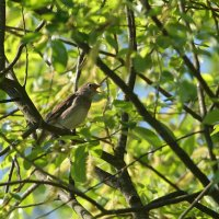 Thrush Nightingale, Photo By Pascal Rapin