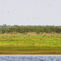 Biebrza Marshes Landscape With Ruffs, Poland