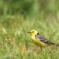 Citrine Wagtail, Photo By Pascal Rapin