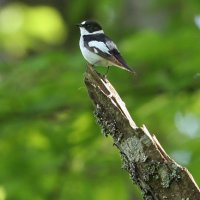 Collared Flycatcher, Photo By Pascal Rapin