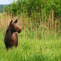2nd Year Female Elk/Moose In The Biebrza Marshes, Poland