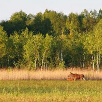 Elk/Moose With A Child In The Biebrza Marshes, Poland