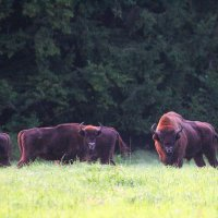 European Bison In The Bialowieza Forest, Poland