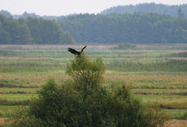Eagles In The Biebrza Marshes