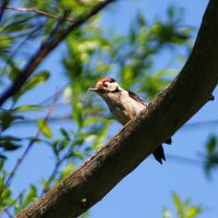 Lesser-spotted Woodpecker In The Biebrza Marshes, Poland