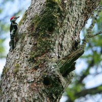 Middle-spotted Woodpecker In The Bialowieza Forest By Pascal Rapin