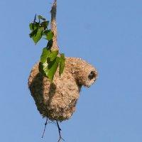 Penduline Tit Nest