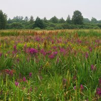 Purple & Yellow Loosestrife Meadow In The Biebrza Marshes, Poland