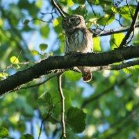Pygmy Owl, Photo By Pascal Rapin