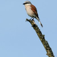 Red-backed Shrike, Photo By Pascal Rapin