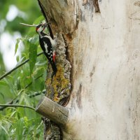 Syrian Woodpecker In The Bialowieza Forest By Pascal Rapin