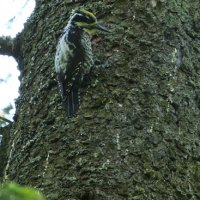 Three-toed Woodpecker In The Bialowieza Forest By Pascal Rapin