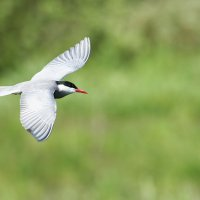 Whiskered Tern, Photo By Pascal Rapin