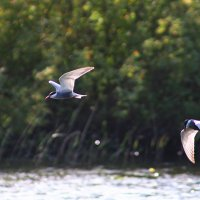 Whiskered Tern  In The Biebrza Marshes, Poland