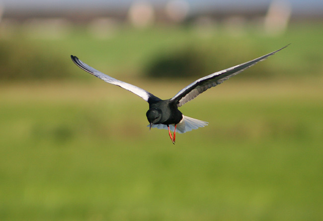 White-winged Tern  In The Biebrza Marshes, Poland