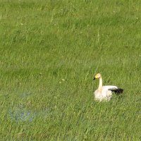 Whooper Swan In The Biebrza Marshes, Poland