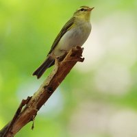 Wood Warbler, Photo By Pascal Rapin