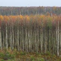 Bog Birch Forest In The Biebrza Marshes, Poland