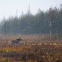 Elk/moose 1st Year Female In The Biebrza Marshes, Poland