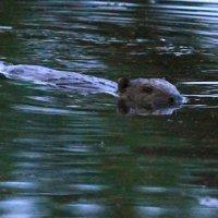 Beaver By Evelyne Pellaton