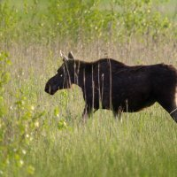 Elk/Moose In The Biebrza Marshes By Evelyne Pellation, Poland