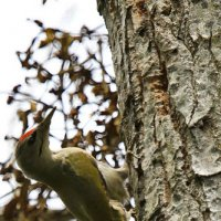 Grey-headed Woodpecker By Evelyne Pellaton