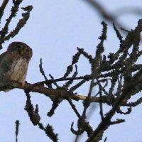 Pygmy Owl By Evelyne Pellaton