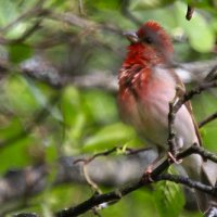 Rosefinch By Evelyne Pellaton