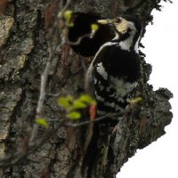 White-backed Woodpecker By Evelyne Pellaton