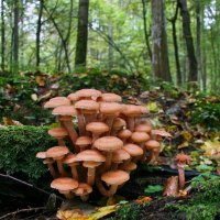 Armillaria Mellea Commonly Known As Honey Fungus -  In The Białowieża Forest