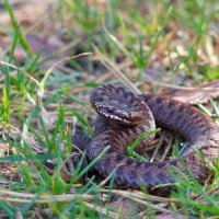 Adder At Biebrza Marshes