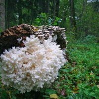 Coral Tooth In The Białowieża Forest, Poland