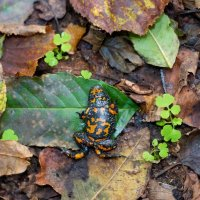 Fire-bellied Toad In The Białowieża Forest, Poland