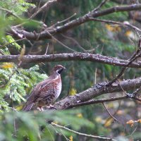 Hazel Grouse In The Bialowieza Forest, Poland